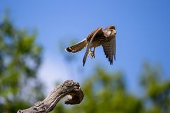 Το κοινό γεράκι που απογειώνεται επάνω κοντά στοκ φωτογραφία με δικαίωμα ελεύθερης χρήσης