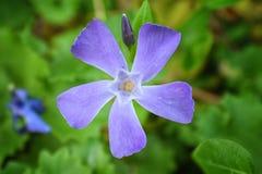 Το κοινό δευτερεύον ενιαίο λουλούδι Vinca Apocynaceae εγκαταστάσεων βιγκών με τον οφθαλμό στο υπόβαθρο Κινηματογράφηση σε πρώτο π Στοκ εικόνα με δικαίωμα ελεύθερης χρήσης