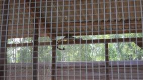 Το κοινό ζώο genetta genet βρίσκεται υψηλό στο κλουβί ζωολογικών κήπων Ζουμ μέσα απόθεμα βίντεο