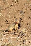 Το κοινό νάνο mongoose parvula Helogale Στοκ Εικόνες