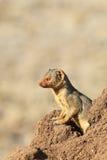 Το κοινό νάνο mongoose parvula Helogale Στοκ Εικόνα