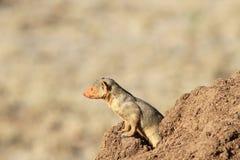 Το κοινό νάνο mongoose parvula Helogale Στοκ φωτογραφία με δικαίωμα ελεύθερης χρήσης