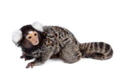 Το κοινό marmoset στο λευκό στοκ εικόνα με δικαίωμα ελεύθερης χρήσης