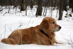 Το κοκκινομάλλες σκυλί αναπαράγει χρυσό retriever βρίσκεται το χειμώνα στο χιόνι και κοιτάζει κατά μέρος στοκ φωτογραφία με δικαίωμα ελεύθερης χρήσης