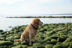 Το κοκκινομάλλες σκυλί αναπαράγει χρυσό retriever κάθεται στις πράσινες πέτρες και κοιτάζει κατά μέρος στοκ φωτογραφίες