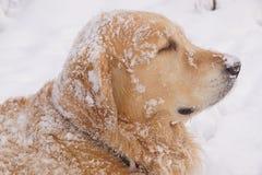 Το κοκκινομάλλες σκυλί αναπαράγει χρυσό retriever κοιτάζει μακριά, όλοι που καλύπτονται με το χιόνι στοκ φωτογραφία με δικαίωμα ελεύθερης χρήσης