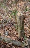 Το κολόβωμα δέντρων που αφήνεται από τους κάστορες είναι αιχμηρό Στοκ Φωτογραφία