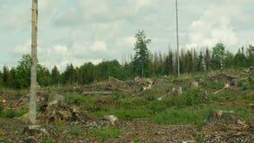 Το κομψό typographus διεθνών ειδησεογραφικών πρακτορείων παρασίτων κανθάρων φλοιών, κομψή μολυσμένη δάση ξηρασία, φύτεψε το μικρό απόθεμα βίντεο