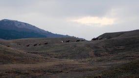 Το κοπάδι αλόγων στη σειρά οργανώνεται στους λόφους στο χρόνο βραδιού φιλμ μικρού μήκους