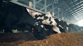 Το κοπάδι των αγελάδων τρώει τη χλόη, που στέκεται στη σειρά μέσα σε μια σιταποθήκη απόθεμα βίντεο