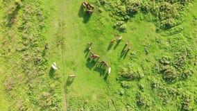 Το κοπάδι των αλόγων βόσκει και έχει ένα υπόλοιπο σε ένα λιβάδι τη θερινή ηλιόλουστη ημέρα Εναέρια άποψη από τον κηφήνα, ομαλή πτ απόθεμα βίντεο