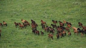 Το κοπάδι των αλόγων βόσκει στους λόφους της Alma Ata απόθεμα βίντεο