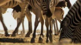 Το κοπάδι των ζώων αναλαμβάνει τα μακριά ταξίδια σε αναζήτηση του νερού Μετανάστευση των ζώων στην αφρικανική σαβάνα στοκ εικόνες