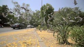 Το κοπάδι των περιστεριών τρέπεται σε φυγή πέρα από ένα πεζοδρόμιο απόθεμα βίντεο