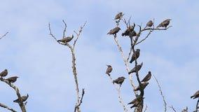 Το κοπάδι των πουλιών κάθεται στους ξηρούς κλάδους απόθεμα βίντεο