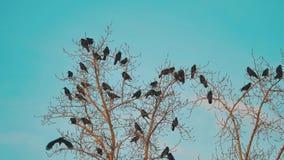 Το κοπάδι των πουλιών λαλά το φθινόπωρο μπλε ουρανού που απογειώνεται από ένα δέντρο ένα κοπάδι ξηρού δέντρου πουλιών κοράκων του απόθεμα βίντεο
