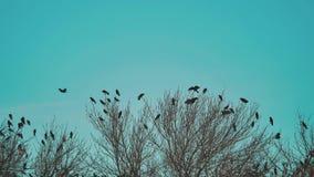 Το κοπάδι των πουλιών λαλά το φθινόπωρο μπλε ουρανού τρόπου ζωής που απογειώνεται από ένα δέντρο ένα κοπάδι ξηρού δέντρου πουλιών απόθεμα βίντεο