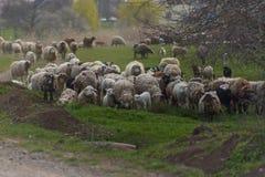 Το κοπάδι των προβάτων και οι κριοί πηγαίνουν στη εθνική οδό να βοήσου στοκ εικόνα