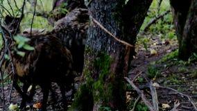 Το κοπάδι των προβάτων τρώει πεσμένος στα επίγεια μήλα απόθεμα βίντεο