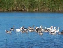 Το κοπάδι των χήνων κολυμπά σε έναν όμορφο ποταμό ένα ηλιόλουστο καλοκαίρι Στοκ Εικόνες