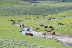 Το κοπάδι βισώνων περιπλανάται κοντά στο νερό στο εθνικό πάρκο Yellowstone Στοκ Φωτογραφία