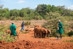 Το κοπάδι οι ελέφαντες μωρών μετά από τους φροντιστές στο Ναϊρόμπι στοκ εικόνες