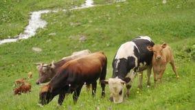 Το κοπάδι των αγελάδων με έναν μόσχο τρώει τη φρέσκια χλόη άνοιξη στο υπόβαθρο του γρήγορου ποταμού βουνών απόθεμα βίντεο