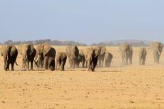 Το κοπάδι των αφρικανικών ελεφάντων Στοκ Φωτογραφία