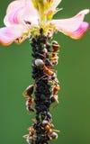 Το κοπάδι των μυρμηγκιών συλλέγει το γλυκό υγρό aphids Στοκ φωτογραφία με δικαίωμα ελεύθερης χρήσης