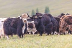 Το κοπάδι των yaks είναι βοημένο στους λόφους Στοκ φωτογραφία με δικαίωμα ελεύθερης χρήσης