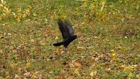 Το κοράκι πετά μακριά απόθεμα βίντεο