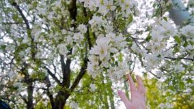 Το κορίτσι αγγίζει ήπια τον όμορφο ανθίζοντας κλάδο του δέντρου της Apple Όμορφα λευκά σαν το χιόνι λουλούδια του δέντρου Το ευγε απόθεμα βίντεο