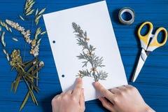 Το κορίτσι κάνει το ερμπάριο Artemisia χορταριών του αψήνθου Στοκ Εικόνες