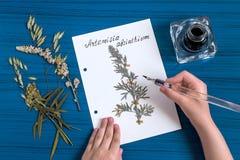 Το κορίτσι κάνει το ερμπάριο Artemisia χορταριών του αψήνθου Στοκ εικόνα με δικαίωμα ελεύθερης χρήσης