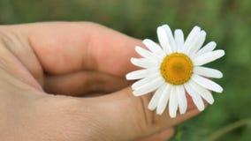 Το κορίτσι κρατά ένα λουλούδι μαργαριτών και το στρίβει απόθεμα βίντεο