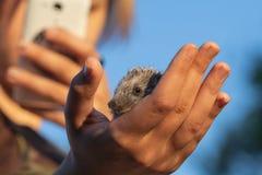 Το κορίτσι παίρνει μια εικόνα ενός μικρού σκαντζόχοιρου σε ένα κινητό τηλέφωνο στο α στοκ φωτογραφία