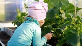 Το κορίτσι παιδιών τρώει ένα αγγούρι σε ένα θερμοκήπιο Η πρώτη συγκομιδή ενός φυτικού καλλιεργητή απόθεμα βίντεο