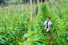 Το κορίτσι περπατά για να ελέγξει την παραγωγή των αγγουριών Gar πεπονιών Στοκ εικόνα με δικαίωμα ελεύθερης χρήσης