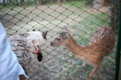 Το κορίτσι ταΐζει ένα ελάφι και κρατά μια γούνινη γάτα σε ετοιμότητα τους Η έννοια της αγάπης για τα ζώα και τα κατοικίδια ζώα Στοκ Εικόνα