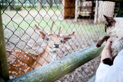 Το κορίτσι ταΐζει ένα ελάφι και κρατά μια γούνινη γάτα σε ετοιμότητα τους Η έννοια της αγάπης για τα ζώα και τα κατοικίδια ζώα Στοκ φωτογραφίες με δικαίωμα ελεύθερης χρήσης