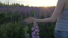 Το κορίτσι χεριών αγγίζει τα πορφυρά λουλούδια σε έναν όμορφο τομέα στο ηλιοβασίλεμα κίνηση αργή απόθεμα βίντεο