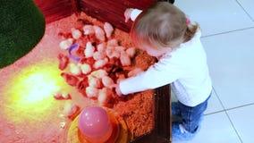 Το κοριτσάκι ταΐζει τα μικρά κοτόπουλα στο γεωργικό φάρμα πουλερικών Ζωολογικός κήπος επαφών φιλμ μικρού μήκους