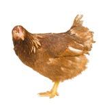 το κοτόπουλο ανασκόπησ&eta Στοκ φωτογραφία με δικαίωμα ελεύθερης χρήσης