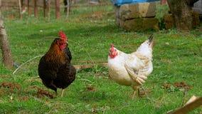 Το κοτόπουλο δύο, γραπτό, βόσκει στο αγρόκτημα