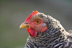 το κοτόπουλο κοιτάζει Στοκ Εικόνα