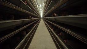 Το κοτόπουλο τρώει στο φάρμα πουλερικών κίνηση αργή απόθεμα βίντεο