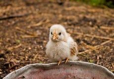 Το κοτόπουλο Στοκ Εικόνες