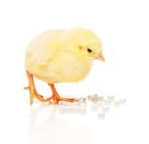 Το κοτόπουλο παίρνει το χάπι από το σωρό των άσπρων ταμπλετών μορφής καρδιών Στοκ Φωτογραφίες