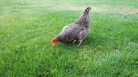 Το κοτόπουλο ραμφίζει στο χορτοτάπητα απόθεμα βίντεο