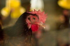 Το κοτόπουλο στο αγρόκτημα, κλείνει τα κεφάλια κοκκόρων ανατρέχει με suspic Στοκ φωτογραφία με δικαίωμα ελεύθερης χρήσης